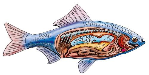 oberstaendiges maul bei fischen